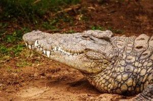 """Esemplare di crocodilide del genere """"Crocodylus"""""""