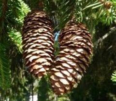 coni delle conifere