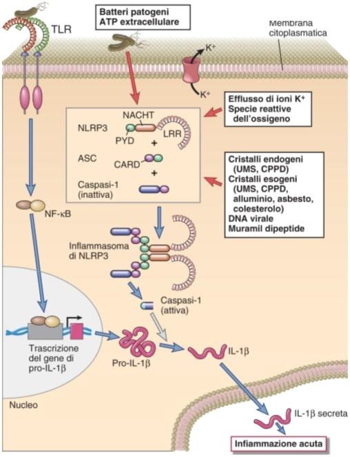 recettori dell'immunità innata
