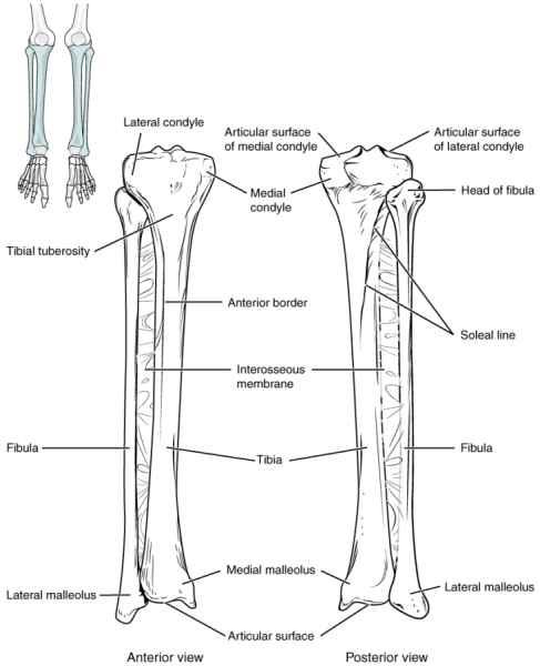 Disegno di tibia e fibula in cui sono messe in evidenza le varie parti sia in visione anteriore che posteriore