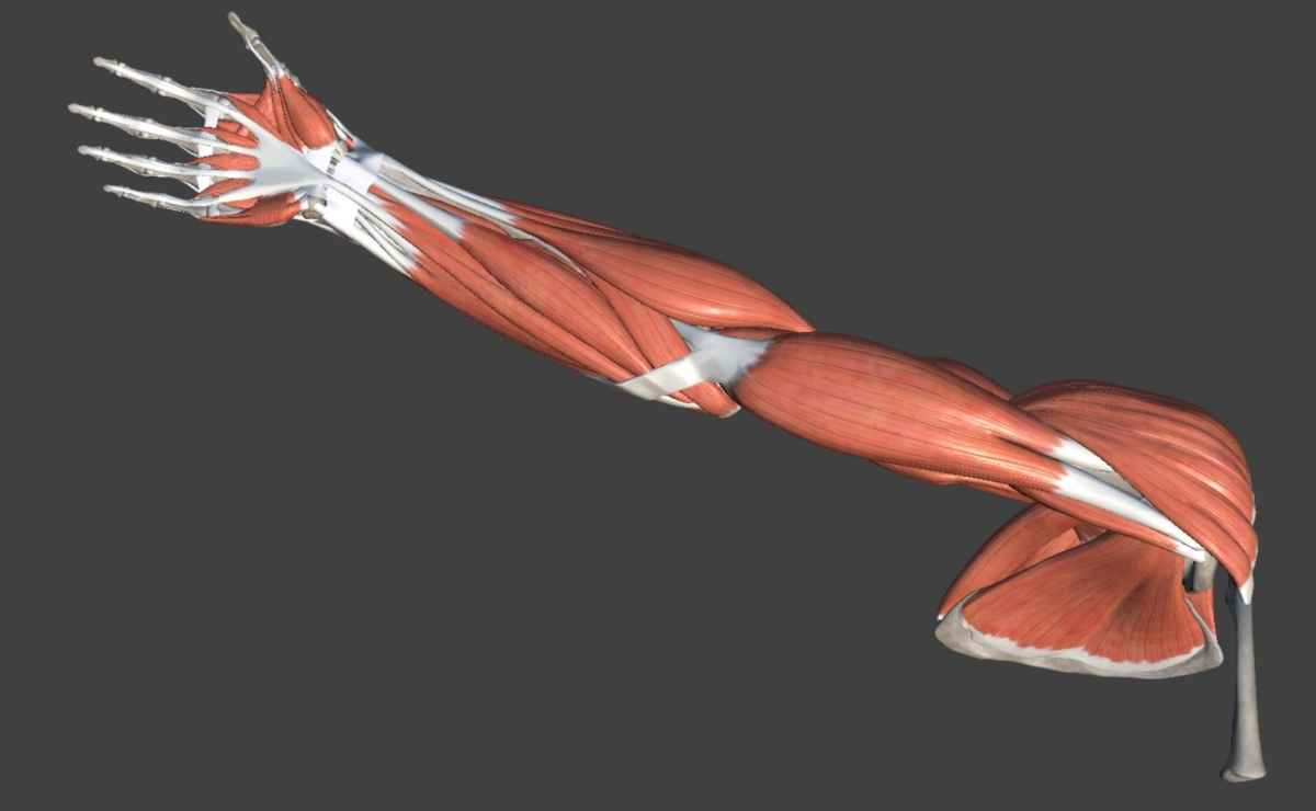 muscoli arto superiore (braccio)