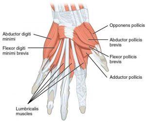 Disegno della muscolatura intrinseca della mano