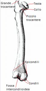 Disegno del femore in cui si evidenziano le varie parti, dall'alto: grende trocantere, testa, collo, piccolo trocantere, epicondili, condili, fossa intercondiloidea