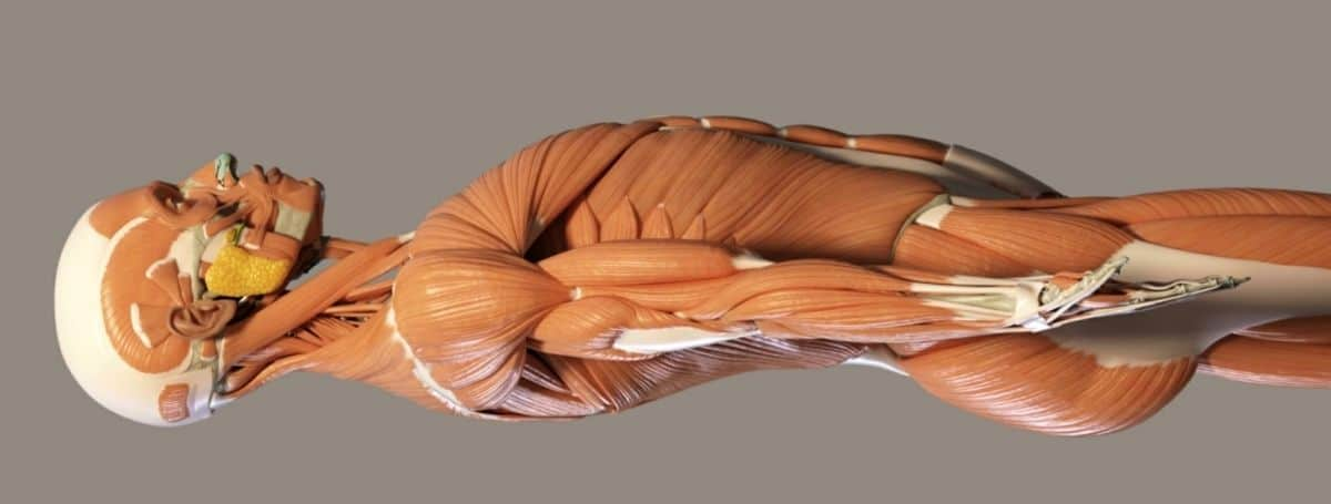 sistema muscolare umano