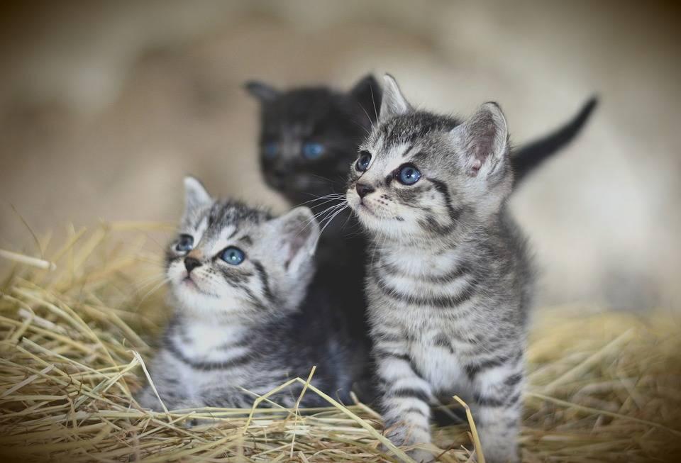 cuccioli di gattini
