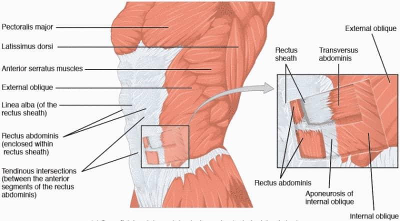 Disegno dei muscoli addominali