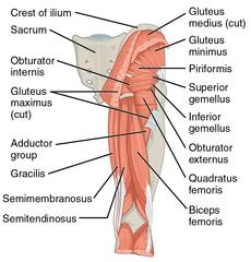 schema della muscolatura posteriore tra cui piccolo e medio gluteo
