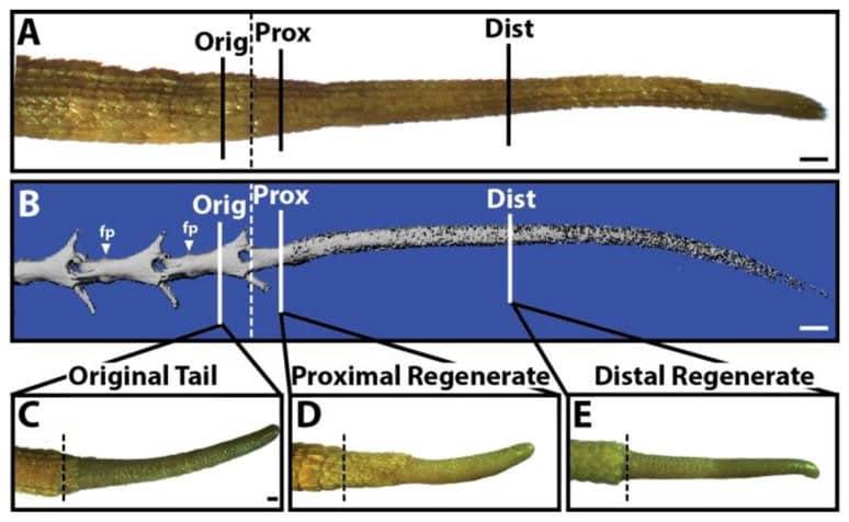 Rigenerazione della coda di lucertola in seguito ad amputazione.