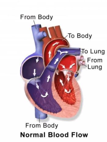 circolazione del cuore