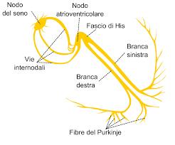 Disegno del sistema di conduzione del cuore con nodo SA, nodo AV, fasci di His e fibre di Purkenje