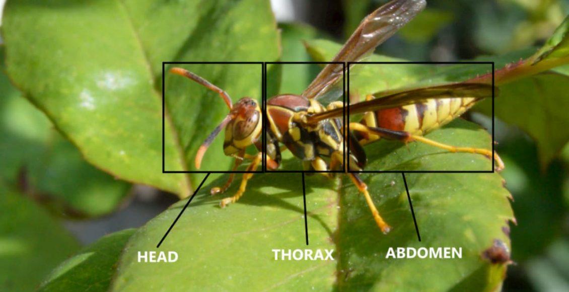 addome degli insetti