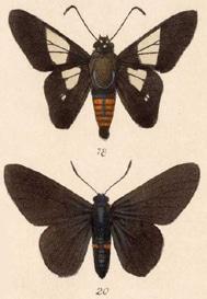 O. stangelandi: maschio sopra e femmina sotto