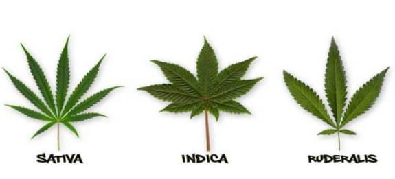 varietà cannabis
