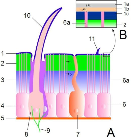 Anatomia del tegumento degli insetti