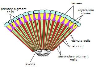 Fig. 2 - Schema dell'anatomia dell'occhio composto degli insetti.