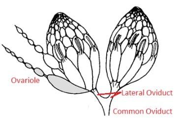 Schema degli ovari di un insetto