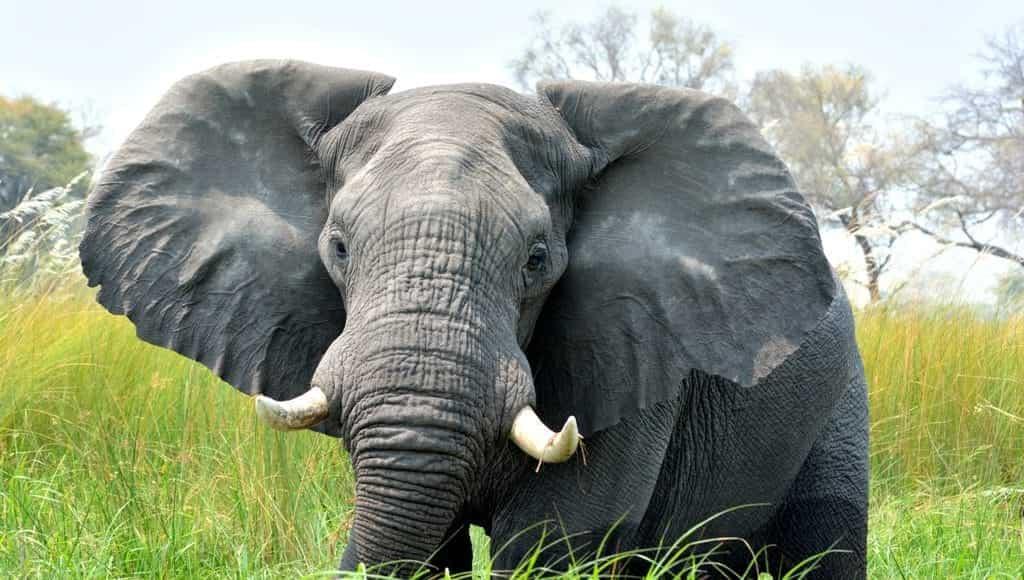 Elefante africano - Delta dell'Okavango