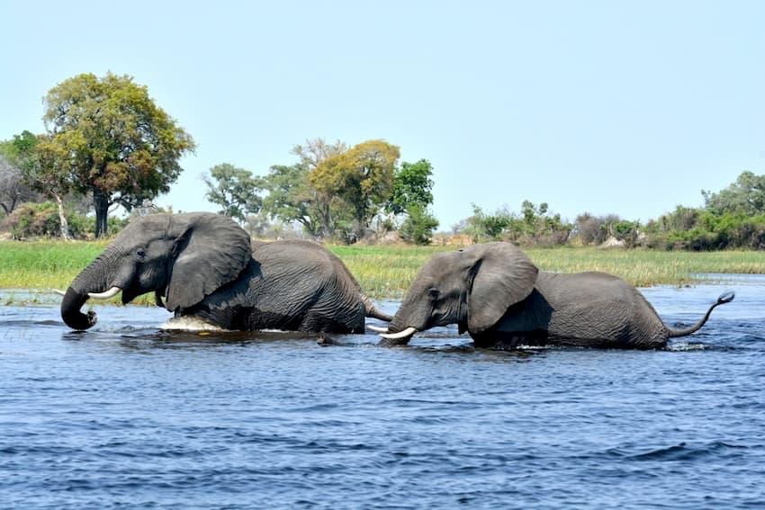 Due elefanti attraversano il fiume