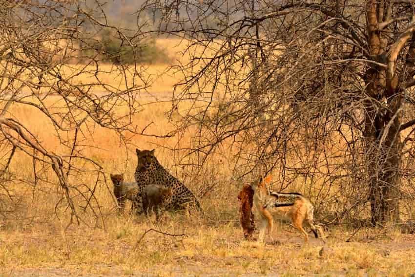 Ghepardi che subiscono il furto della preda da parte di uno sciacallo dal dorso argentato.