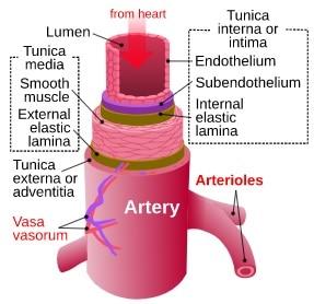 Schema degli strati di un arteria con lume, tonaca intima, media e avventizia