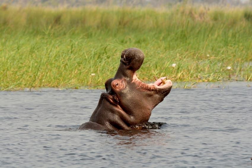 Ippopotamo anfibio – Delta dell'Okavango