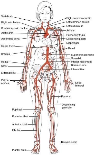 Schema delle arterie