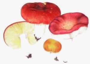 Russula aurea Pers.