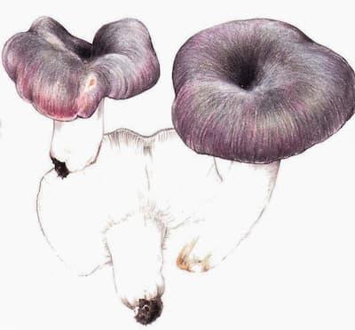 Russula cyanoxhanta Schaeff. Fr.