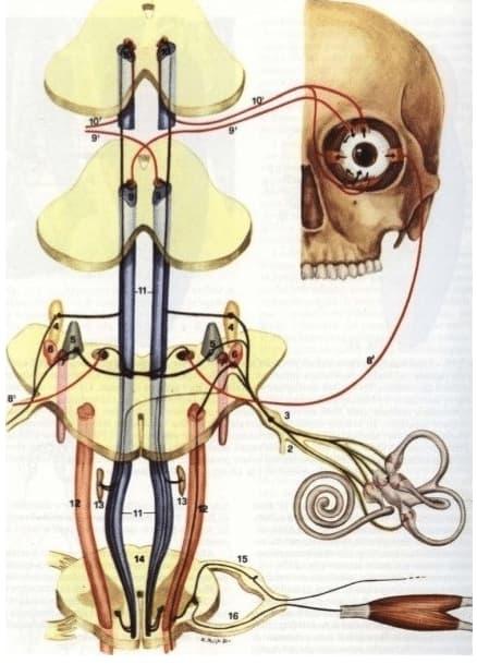 tavola anatomica