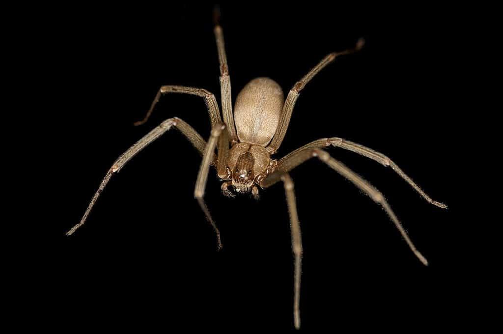 ragno eremita marrone