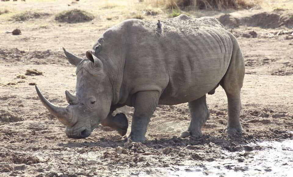 rinoceronte bianco settentrionale