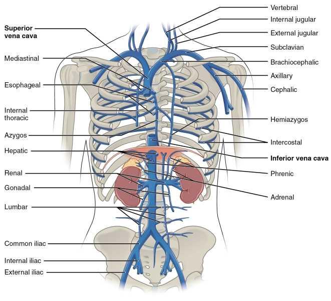 schema delle vene