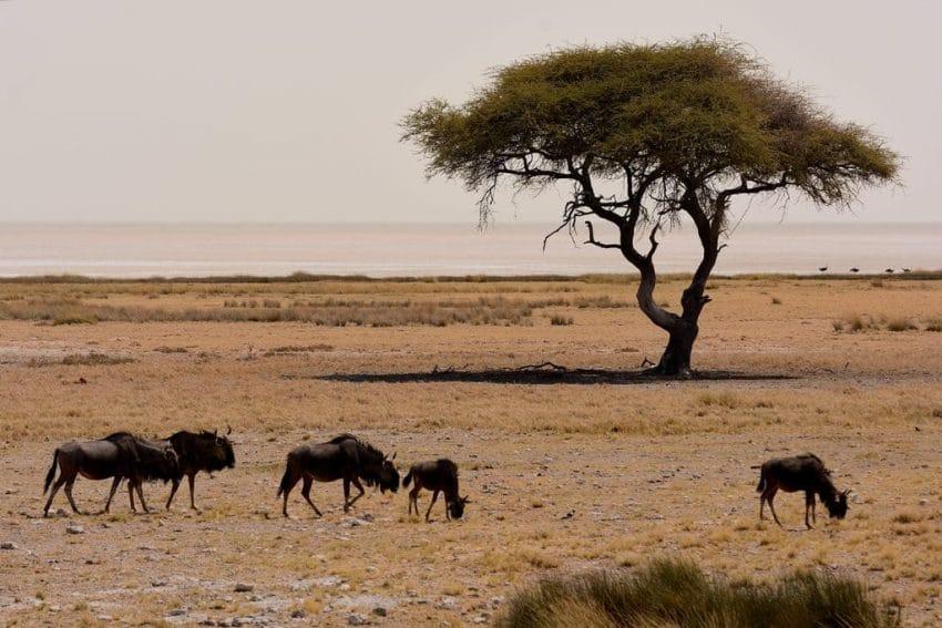 gnu pianure dell'Etosha
