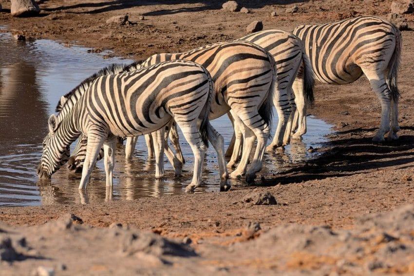 zebre di pianura
