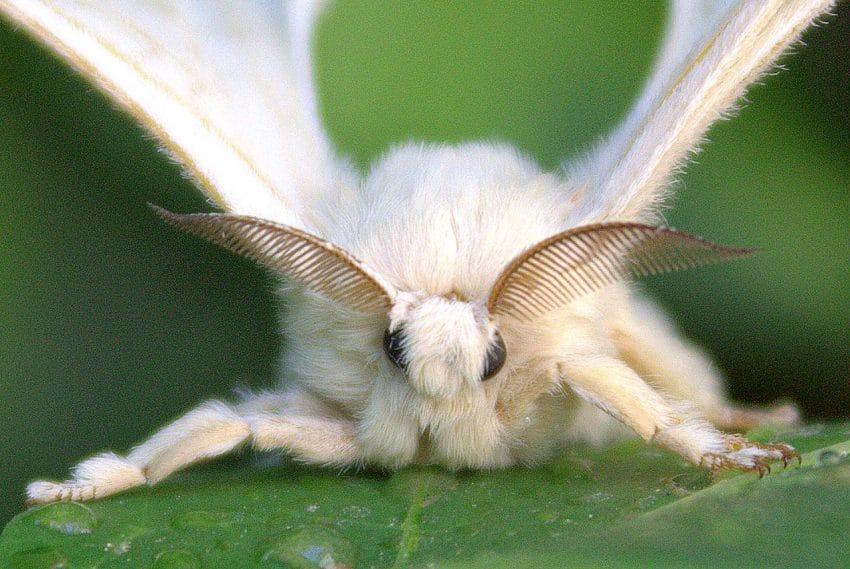 Bombyx mori allo stadio adulto.