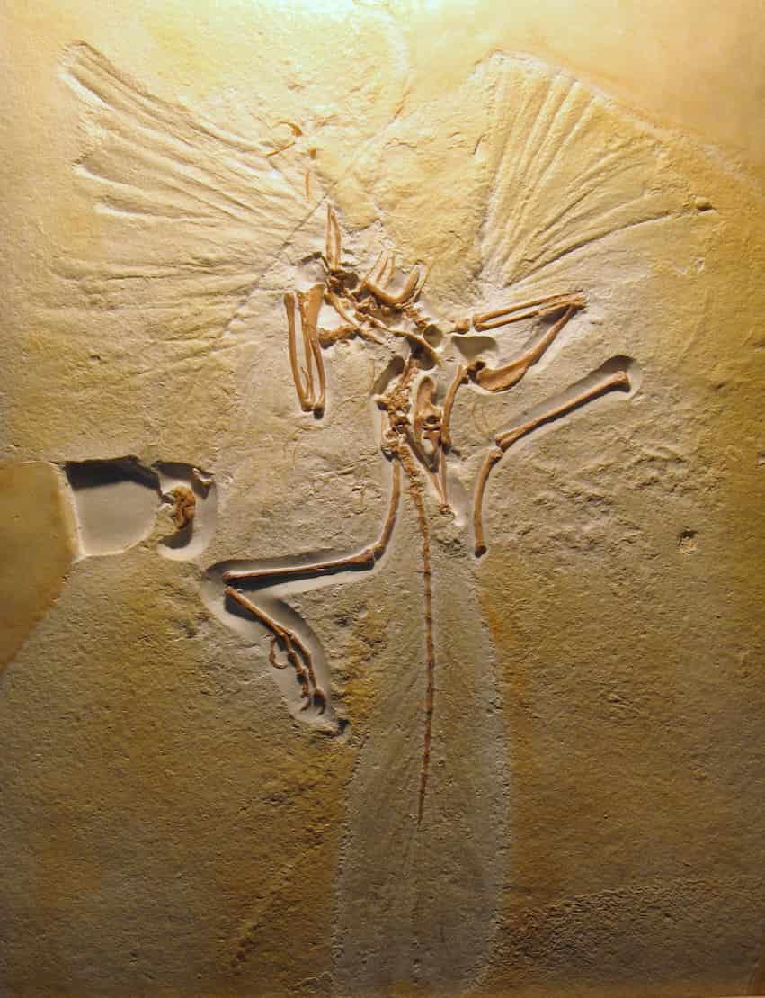 olotipo Archaeopteryx litographic