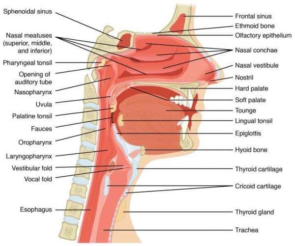 Immagine in sezione di cavità nasale, buccale e faringe