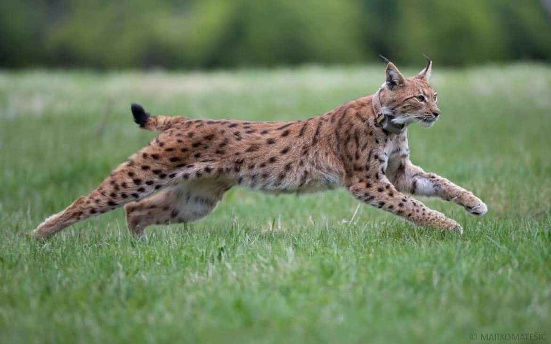 progetto life lynx