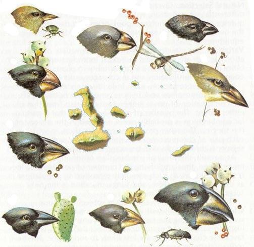 Alcuni esempi di becchi e diete dei fringuelli