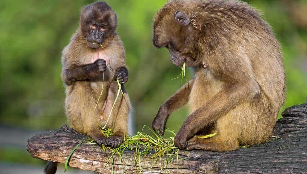 Food-sharing nei primati