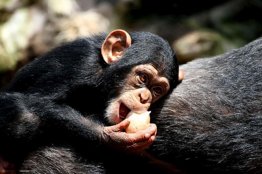 Piccolo di scimpanzé (Pan troglodytes)