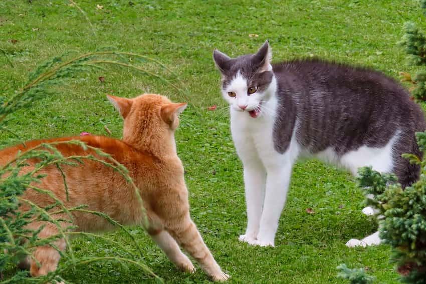 aggressione tra gatti