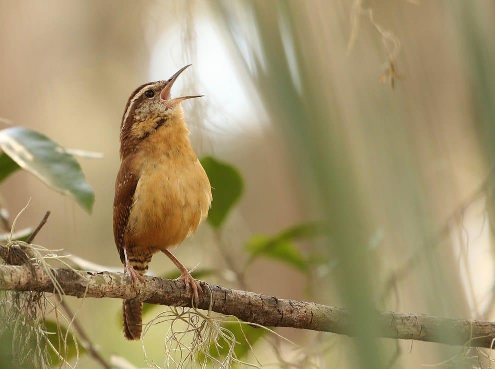 Thryothorus ludovicianus che canta
