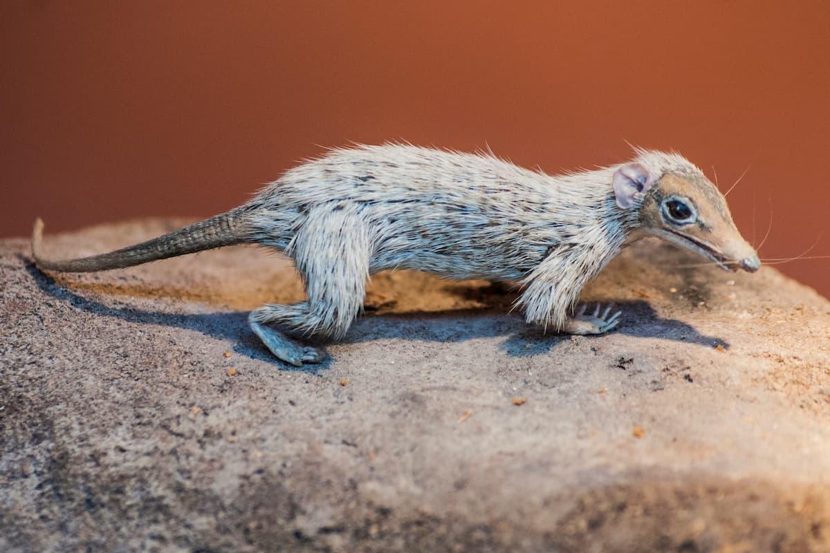 primi mammiferi: Megazostrodon