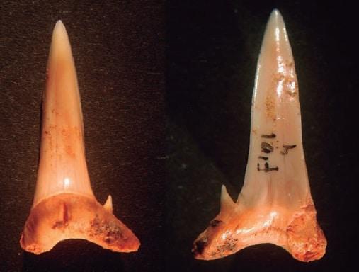 dente_squalo_neolitico