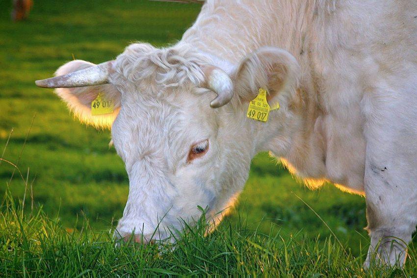 mucca albina