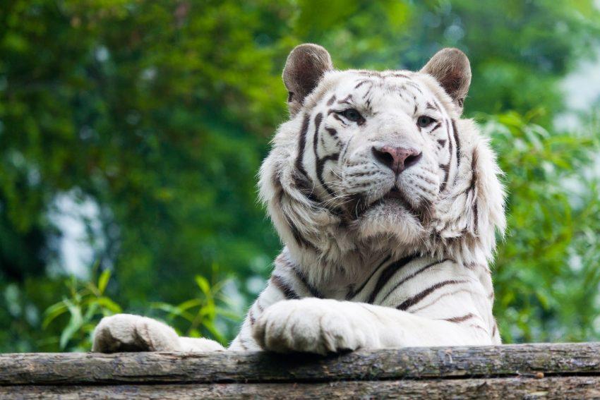 Esemplare di tigre albina.
