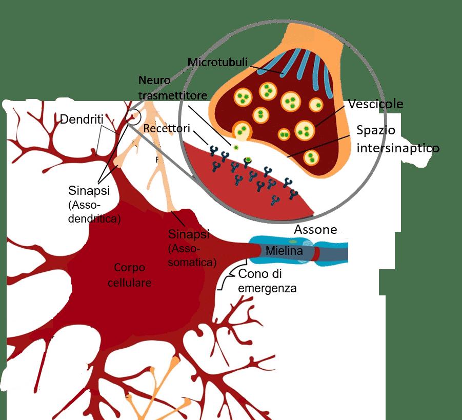 sinapsi chimica