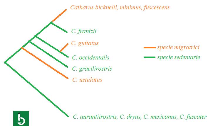 Albero filogenetico dei tordi del genere Catharus