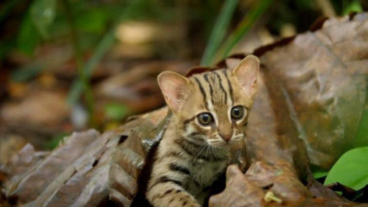 gatto rugginoso (Prionailurus rubiginosus)